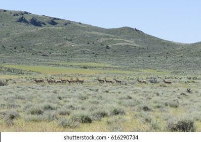 Pronghorn Antelope in the High Desert of South Eastern Oregon, Malheur County