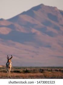 Pronghorn Antelope on Utah's Antelope island