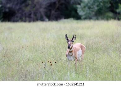Pronghorn Antelope in the western prairie grasses of South Dakota