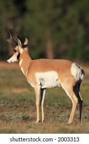 Pronghorn Antelope - Wind Cave National Park