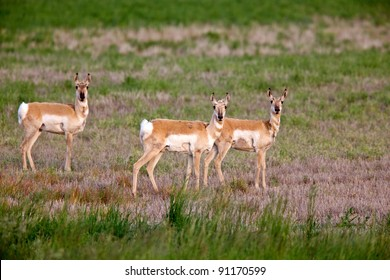 Pronghorn antelopes in field