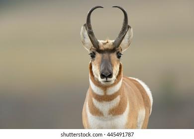 Pronghorn (Antilocapra american) - Curious