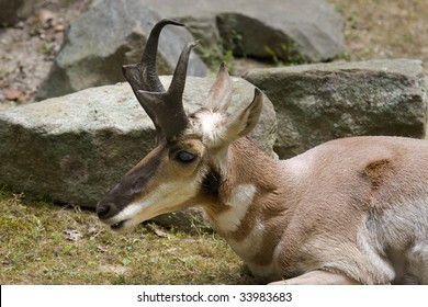 Pronghorn (Antilocapra americana) laying in front of some rocks