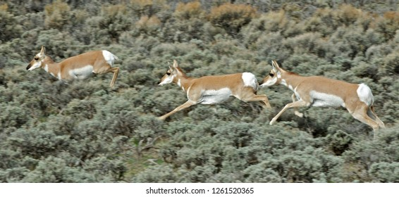 Pronghorn does migrating through a sagebrush habitat near Pinedale Wyoming on the Path of the Pronghorn.