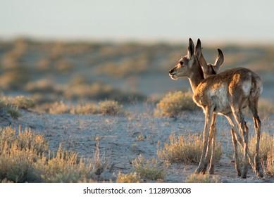 Pronghorn Fawns at Sunset in Utah Desert