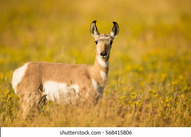 pronghorn female, standing alert in tall prairie grass looking into the camera