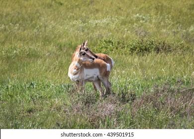 Pronghorn in Grand Teton National Park, Wyoming