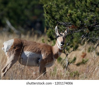 Pronghorn in the grassy meadow