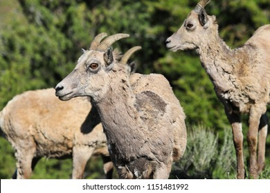 Pronghorn Sheep are very common wildlife in Yellowstone National Park and Grand Teton National Park in Wyoming.