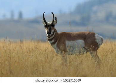 Pronghorn walking in grass, Wyoming, Yellowstone National Park