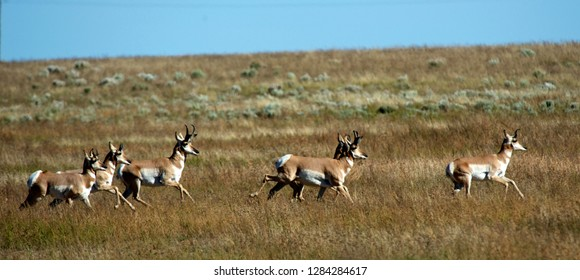Pronghorns (Antilocapra Americana) migrating through a sagebrush habitat near Pinedale Wyoming on the Path of the Pronghorn.
