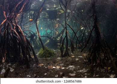Prop roots descend to the seafloor in the shadows of a blue water mangrove forest in Raja Ampat, Indonesia. Mangrove habitat provides vital nurseries for many reef fish and invertebrates.
