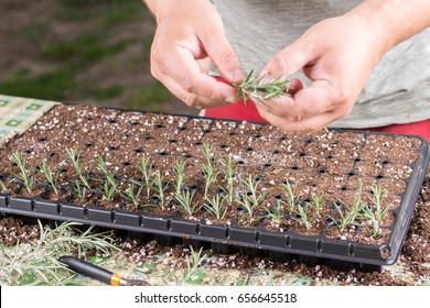 Propagating small rosemary plants with growth hormone in the container.