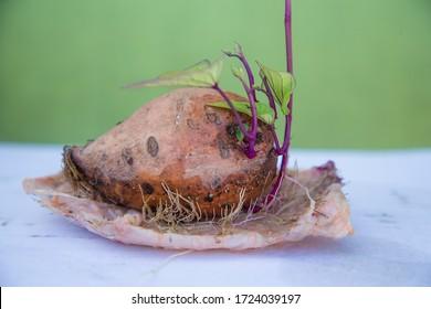 The propagation of sweet potatoes - ipomoea batatas