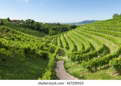 Prosecco vineyards at morning during summer, Valdobbiadene, Italy. Taken on July 17, 2016.