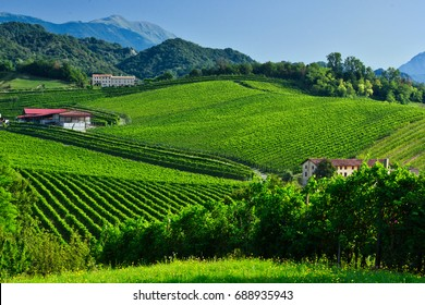 Prosecco Vineyards at summer on conegliano. Taken on august 02, 2017