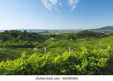 Prosecco vineyards at summer, Valdobbiadene, Italy. Taken on July 17, 2016.