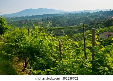 Prosecco vinyards near Valdobbiadene, Veneto, Italy