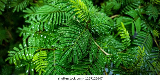 Prosopis cineraria also known as sami tree in india with water droplets on its leaves.