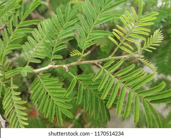 Prosopis cineraria, known as Shami, Khejri Tree, or Ghaf, is a species of flowering tree in the pea family.