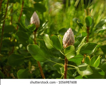 Protea cynaroides buds also called giant protea, honeypot or king sugar bush. Two flower heads.