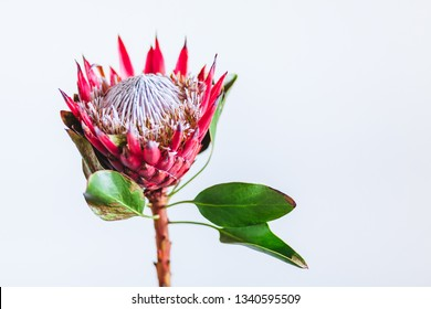 Protea cynaroides, the king protea, a flowering plant in a vase