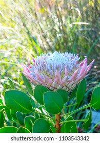 Protea cynaroides, the king of fynbos, national flower of South Africa