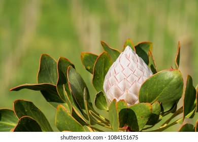 Protea cynaroides (King Pink) flower before blooming