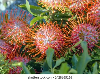 """Protea cynaroides """"King Pink"""", Proteaceae, in red, several flowers. The flower grows on the stem tips and has the shape of an artichoke before opening. The large flower heads of this species can reach"""