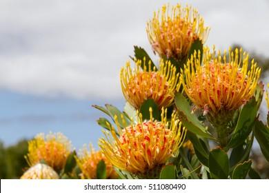 Protea cynaroides - South African Protea