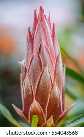protea flower bud closeup, Protea cynaroides is the national flower of South Africa.