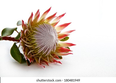 Protea flower isolated on white background with space for text
