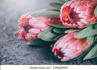 Protea flowers bunch. Blooming Pink King Protea Plant over dark background. Extreme closeup. Holiday gift, bouquet, buds. One Beautiful fashion flower macro shot. Valentine's Day gift