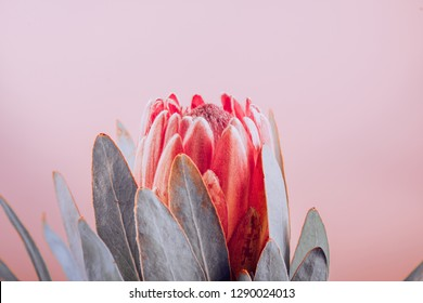 Protea flowers bunch. Blooming Pink King Protea Plant over pink background. Extreme closeup. Holiday gift, bouquet, buds. One Beautiful fashion flower macro shot. Valentine's Day gift