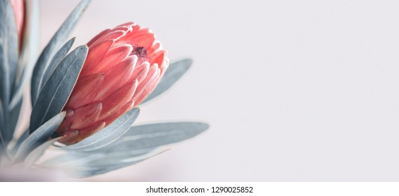 Protea flowers bunch. Blooming Pink King Protea Plant over grey background. Extreme closeup. Holiday gift, bouquet, buds. One Beautiful fashion flower macro shot. Valentine's Day gift