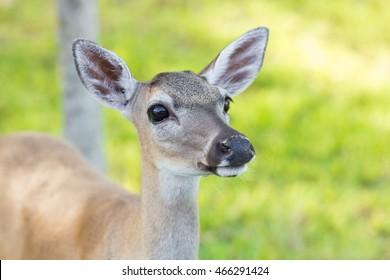 Protected Key Deer in the National Key Deer Refuge, Big Pine Key, Florida Keys.