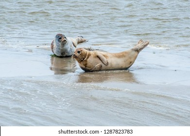 Protected seal species lying on the beach in the Dutch Island of Ameland
