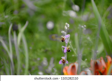 A protected wild orchid (ophrys abeille) in a green background. Orchidée sauvage protégée.