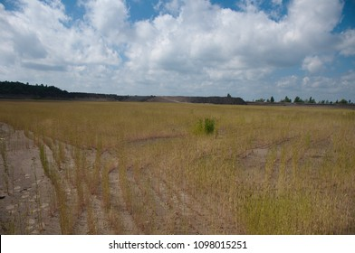 Protection of the environment from dust by reclamation of slurry tailings. Rye and reeds grow in fine dust.