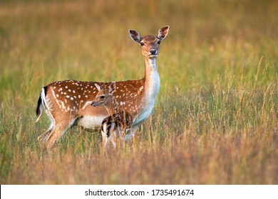 Protective fallow deer, dama dama, doe watching around and guarding little cute fawn in nature. Concept of animal family. Female mammal on meadow with grass close to young spotted offsrping.