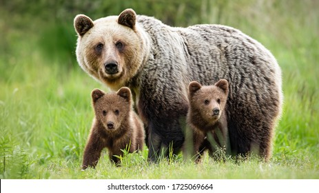 Protective female brown bear, ursus arctos, standing close to her two cubs. An adorable young mammals with fluffy coat united with mother in the middle of grass meadow. Concept of animal family. - Shutterstock ID 1725069664