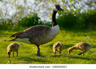 Protective parent Canada Goose with three goslings on Toronto Island with Lake Ontario shore