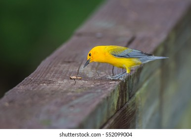 Prothonotary Warbler eating a bug