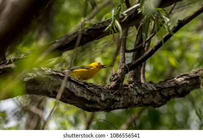 Prothonotary Warbler in Louisiana swamp