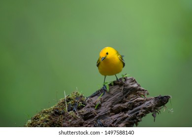 A Prothonotary Warbler perched on a wet log with green moss and a smooth green background.