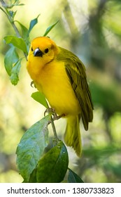 prothonotary warbler.  It is a small songbird of the New World warbler family