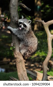 Protrait of adult lotor common raccoon climbing a tree. Photography of wildlife.