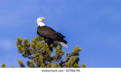 Proud bald eagle on fir tree