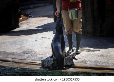 Proud Brown fur seal is fed to his servant. Cape fur seal, South African fur seal sitting and waiting with his mouth open for the master to throw a fish there. Arctocephalus pusillus.