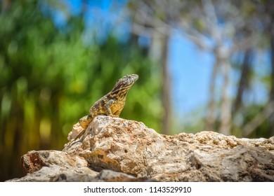 Proud Cuban lizard on a rock